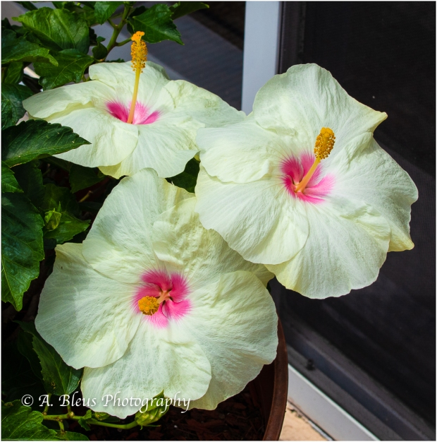 Hibiscus Flowers, IMG_5576-2