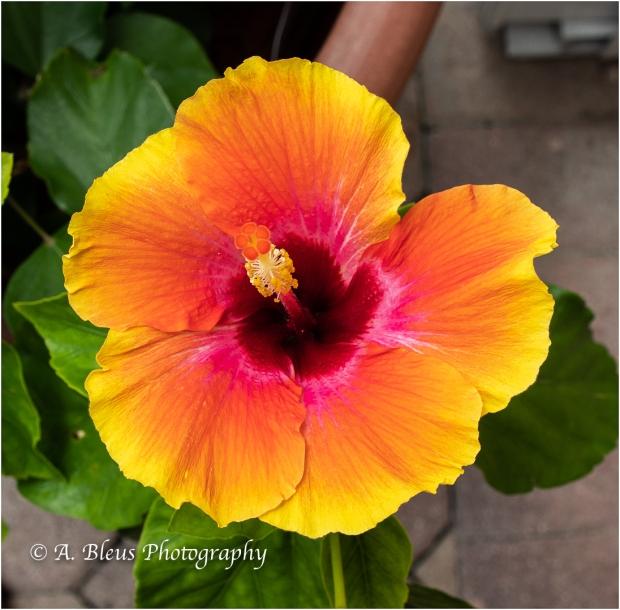 Hibiscus Flowers, IMG_5576