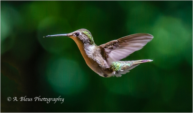 Hummingbirds_93E0394-2
