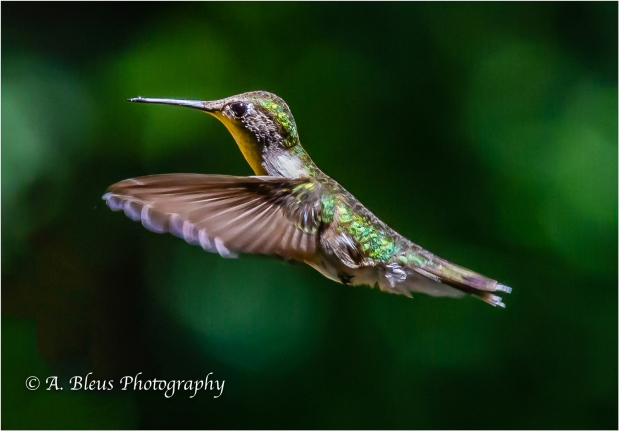 Hummingbirds_93E0394