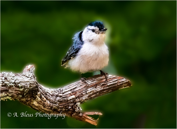 Nuthatch Bird perched, IMG_6557