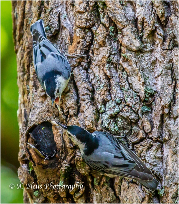 Nuthatch Feeding time_93E8602