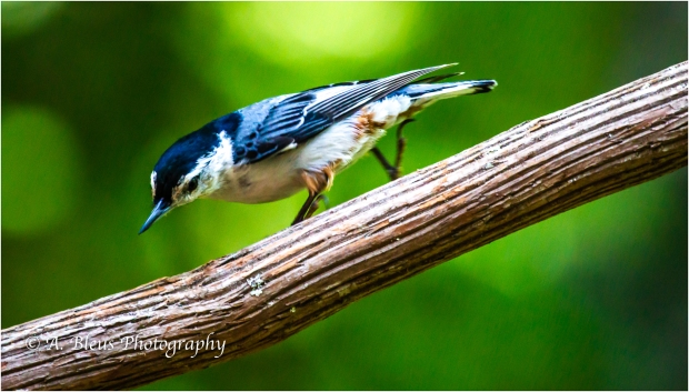 Nuthatch in 3 poses_93E8577-2