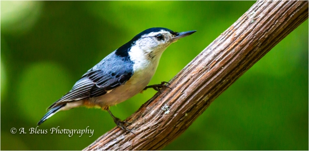 Nuthatch in 3 poses_93E8577-3