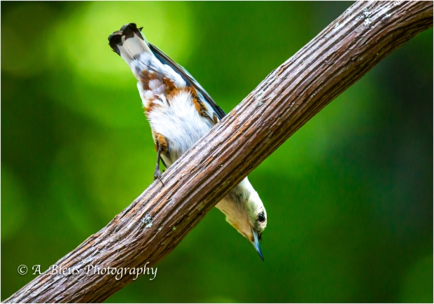 Nuthatch in 3 poses_93E8577
