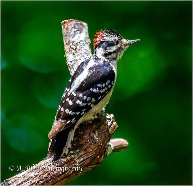 Perched Downy Woodpecker_93E9689