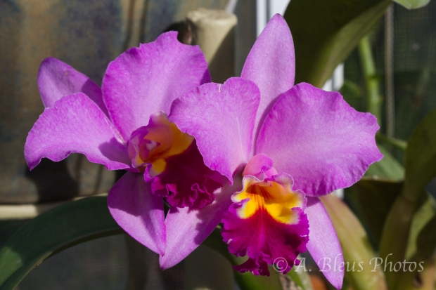 Pink Cattleya Orchid_5977