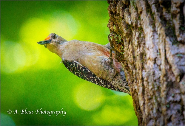 Red-bellied Woodpecker _93E8541-2
