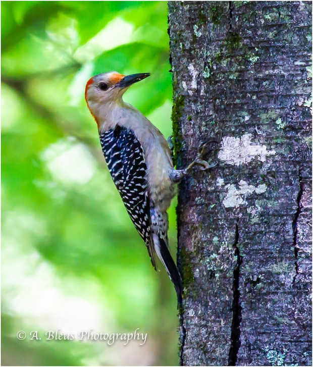 Red-bellied Woodpecker _93E8541