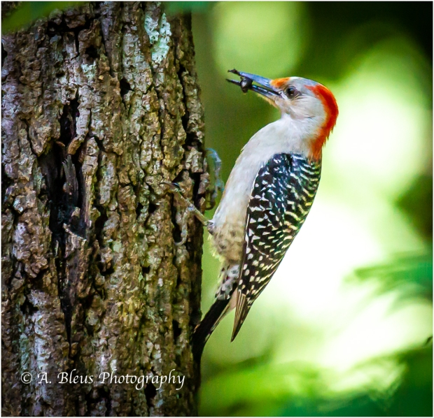 Red-bellied Woodpecker with a Bug_93E8563