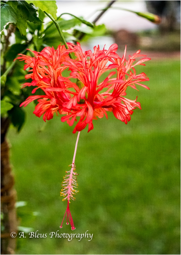 Spider Hibiscus, IMG_4569-1