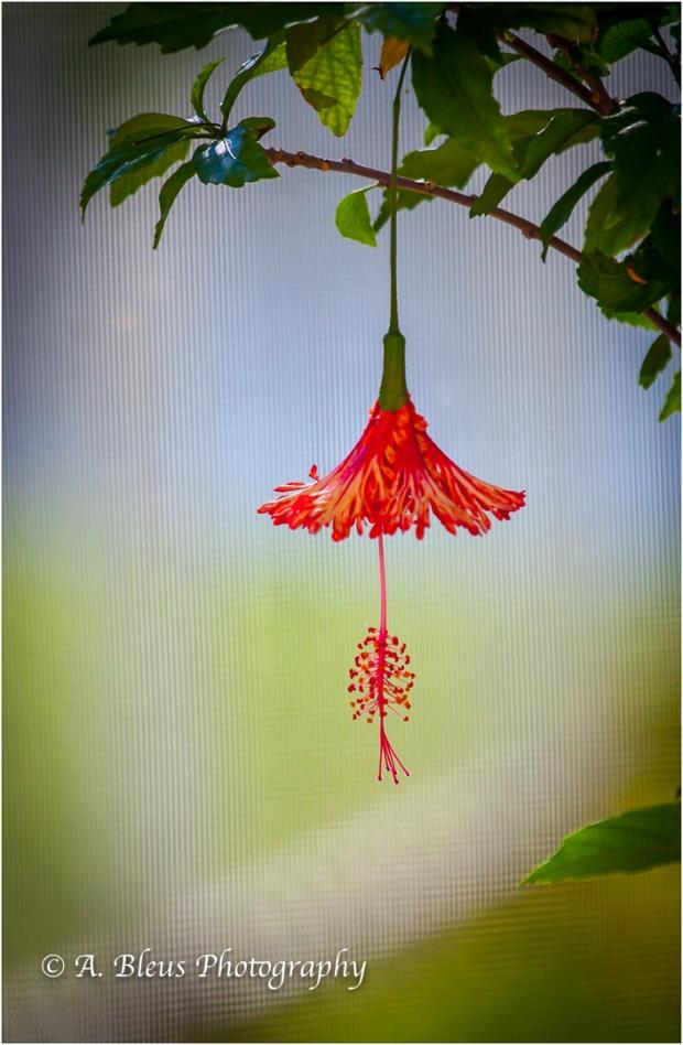 Spider Hibiscus, IMG_4569-2