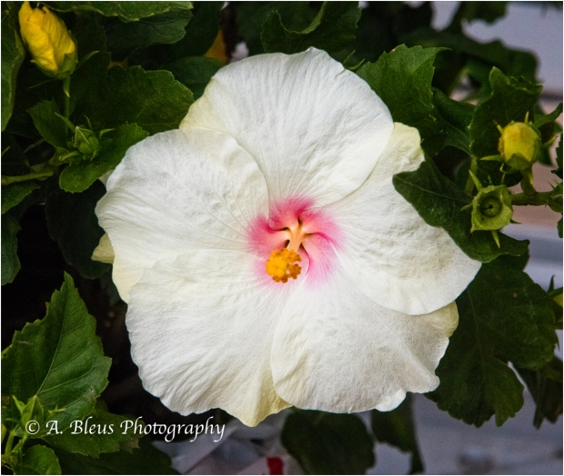 Yellow & White Hibiscus, IMG_4933-2