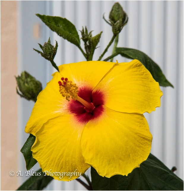 Yellow & White Hibiscus, IMG_4933