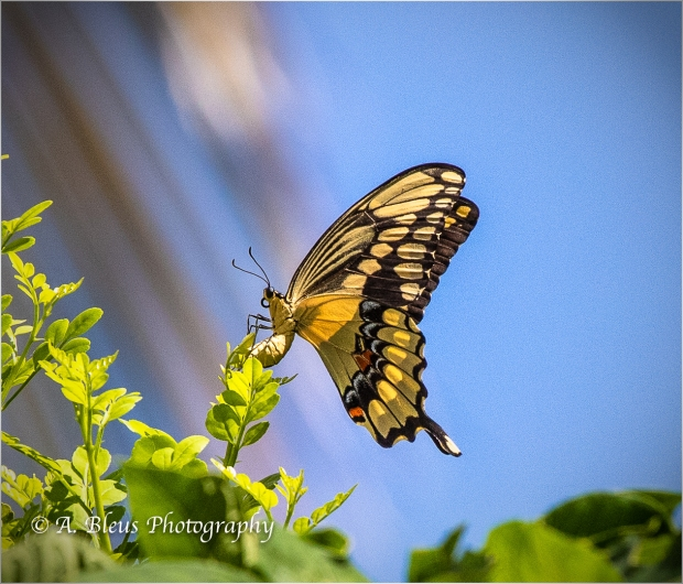 Giant Swallowtail Butterfly_B2240-2