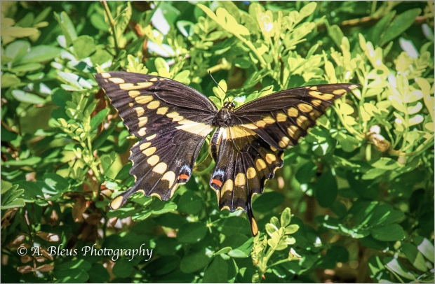 Giant Swallowtail Butterfly_B2240
